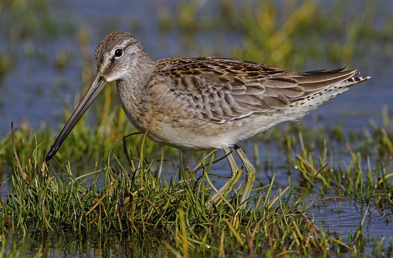Long Billed Dowitcher - Long Billed Dowitcher