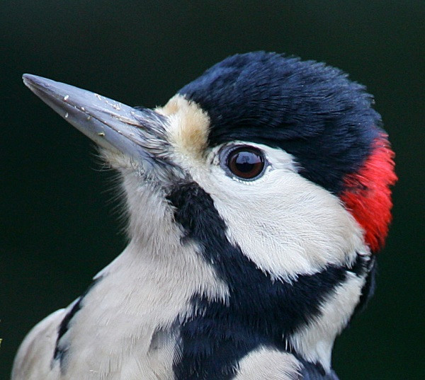 Great Spotted Woodpecker - Middlewood Nature Reserve