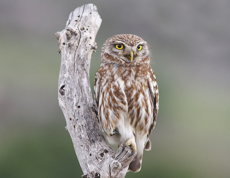 Little Owl - Miscellaneous