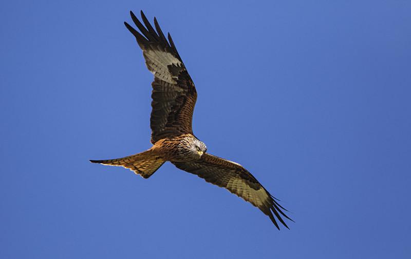 Red Kite - Red Kites