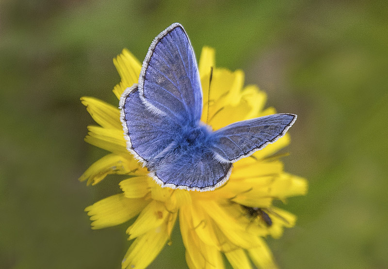 Common Blue - Butterflies