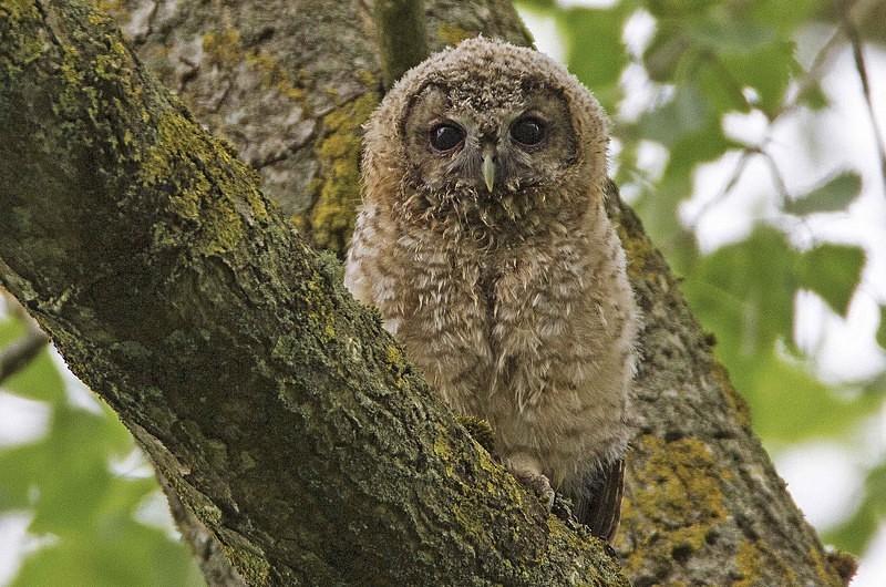 Owlet - Tawny Owls