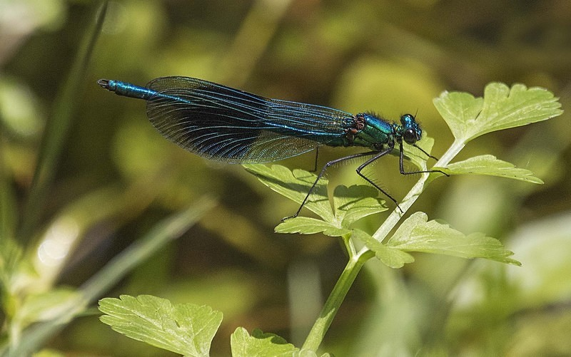 Banded Demoiselle - Dragonflies