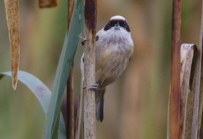 Male Penduline Tit - Penduline Tit