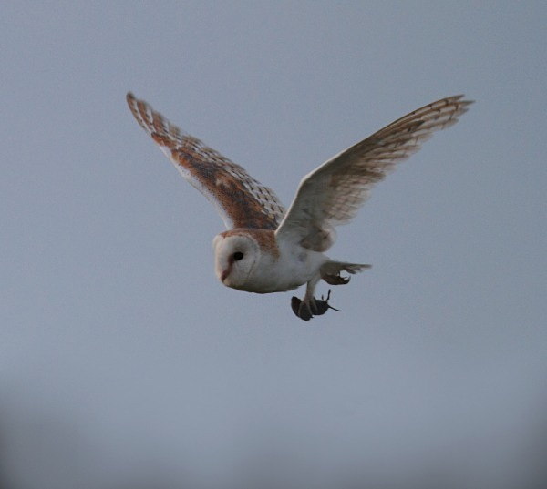 Barn Owl - Norfolk, Autumn 2011