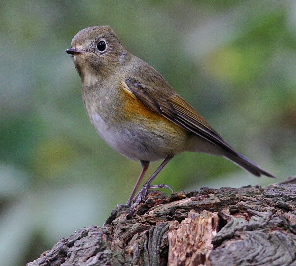 - Red Flanked Bluetail