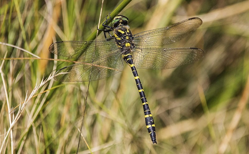 Golden Ringed Dragonfly - Dragonflies