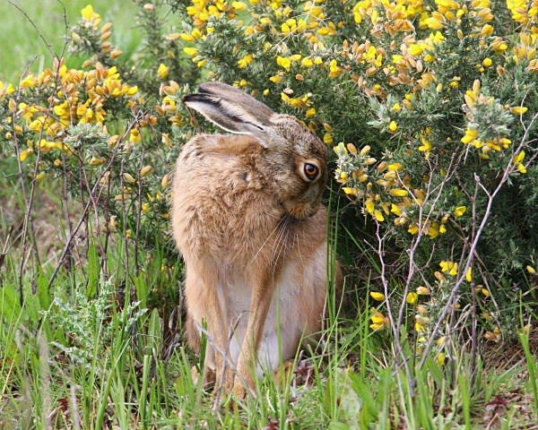 Brown Hare looking very appealing. - From around the UK