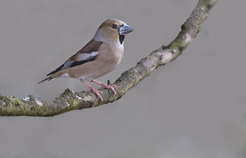 Female Hawfinch - Hawfinches