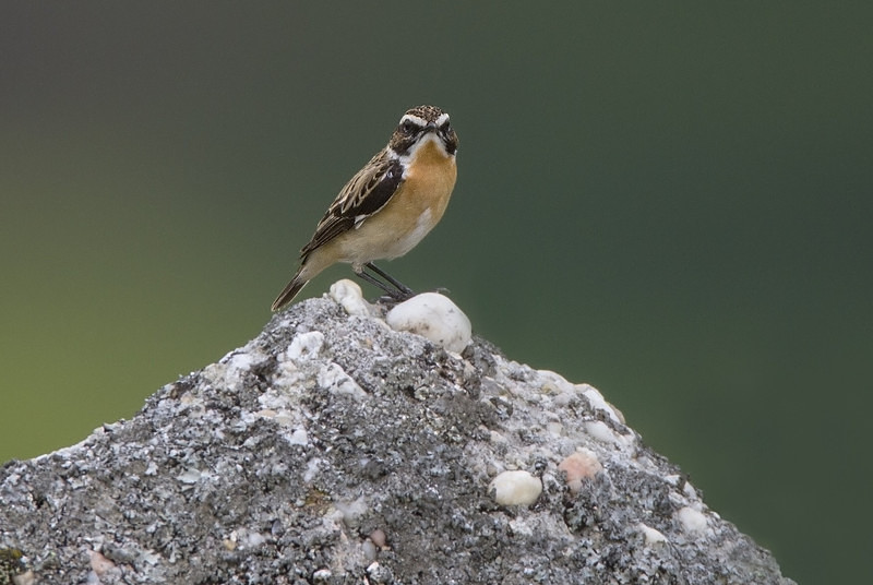 Whinchat - Spring birds around the Brecon Beacons
