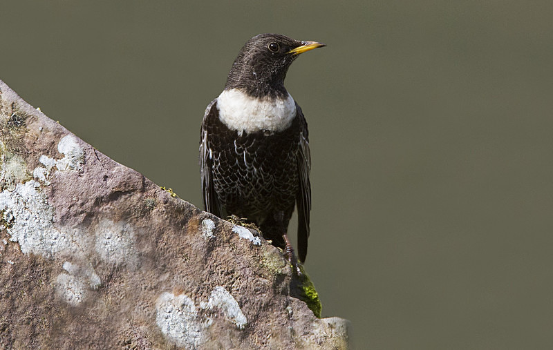 Male Ring Ouzel - Ring Ouzels