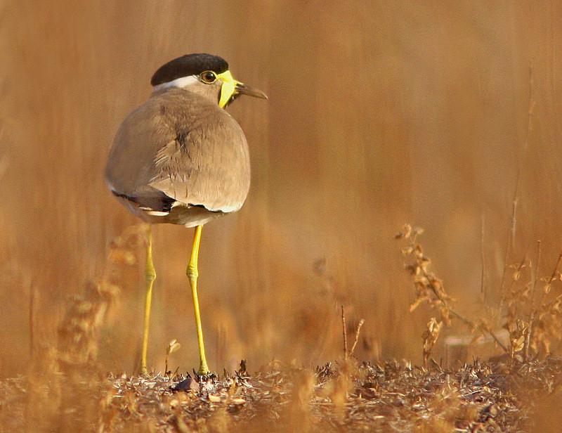 Yellow Wattled Lapwing - Miscellaneous