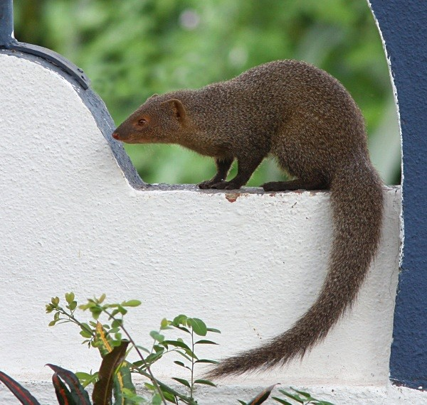 Indian Mongoose (India) - From around the world