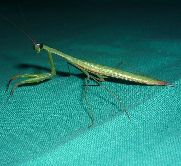 Praying Mantis (India) - From around the world
