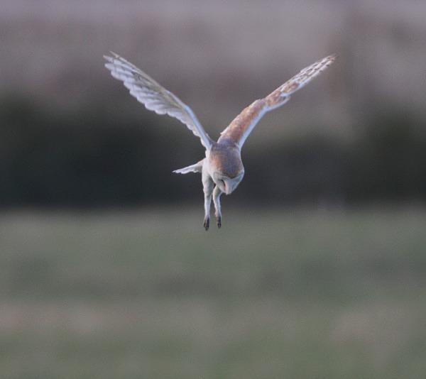 Barn Owl - Norfolk, Autumn 2011