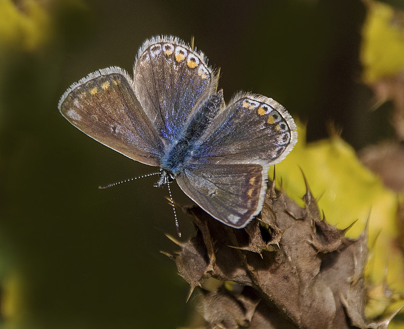 Common Blue - Butterflies