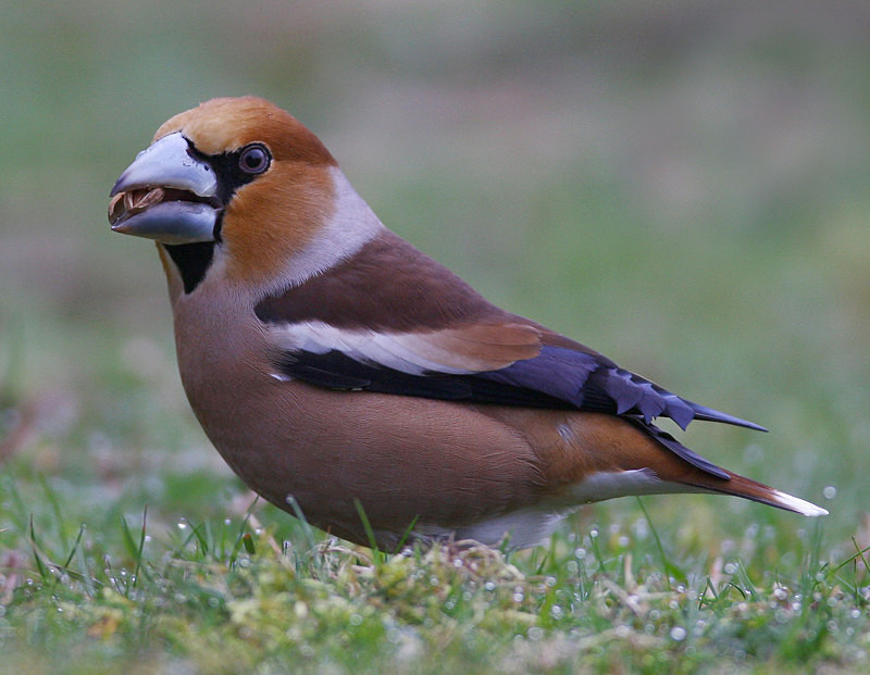 Hawfinch - Miscellaneous