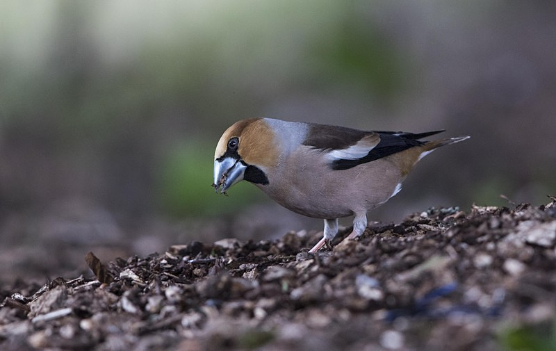 Male Hawfinch - Finches