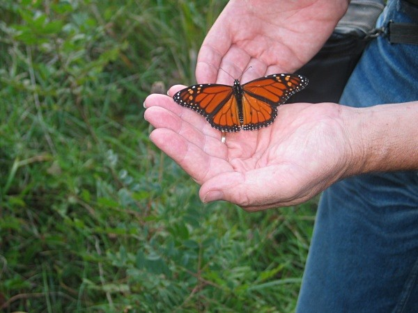 Monarch butterfly (Cape May, USA) - From around the world