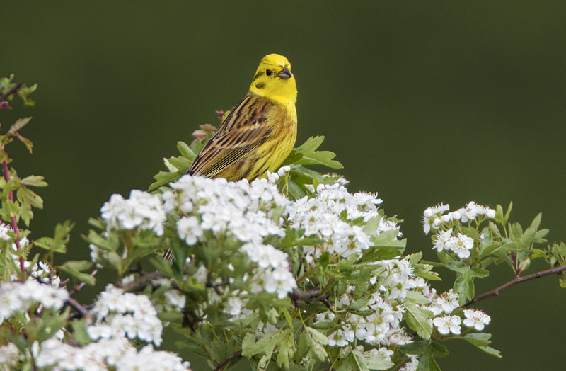 Yellowhammer - Spring birds around the Brecon Beacons