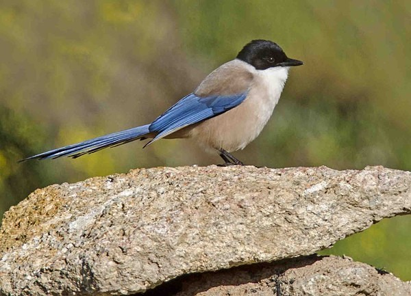 Azure Winged Magpie - Extremadura, Spain
