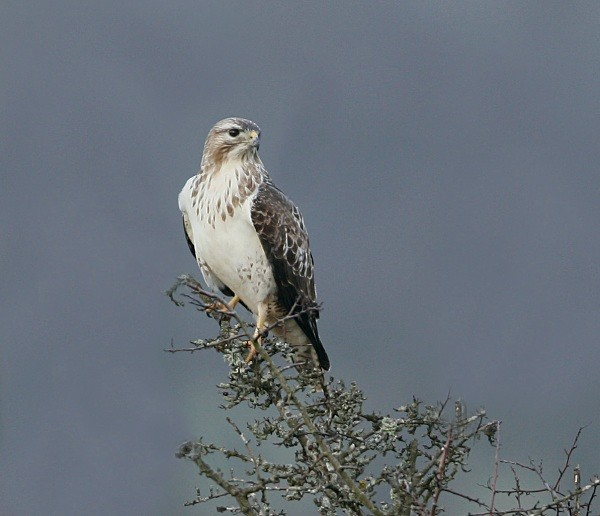 Common Buzzard - Middlewood Nature Reserve