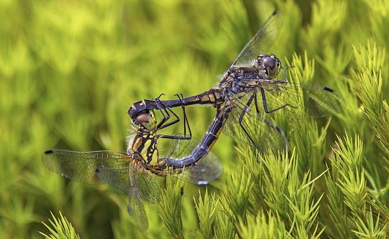 Black Darters - Dragonflies and Damselflies
