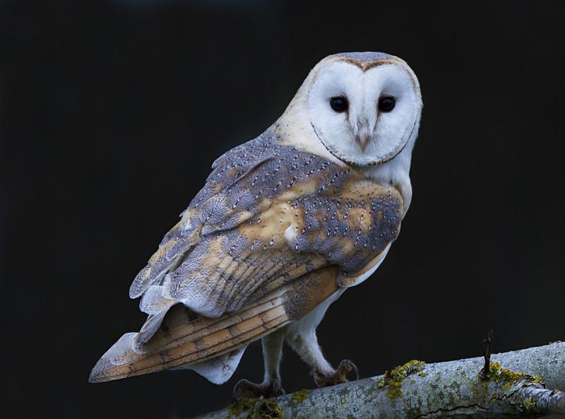 Barn Owl - Miscellaneous