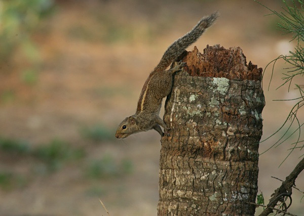 Three Striped Palm Squirrel (India) - From around the world