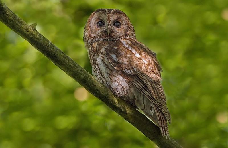 Adult - Tawny Owls