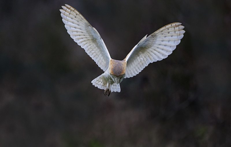 Barn Owl - Norfolk Winter 2016