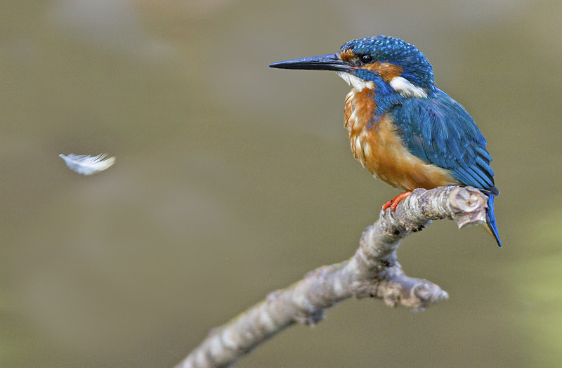 Male Kingfisher - Kingfishers