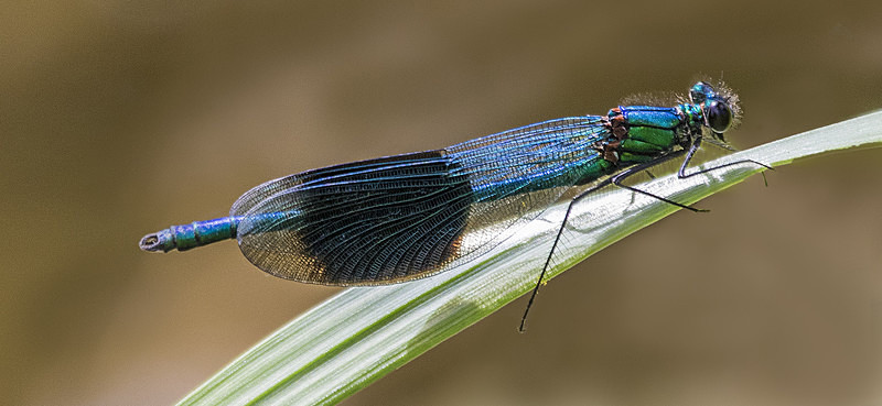 Banded Demoiselle - Dragonflies