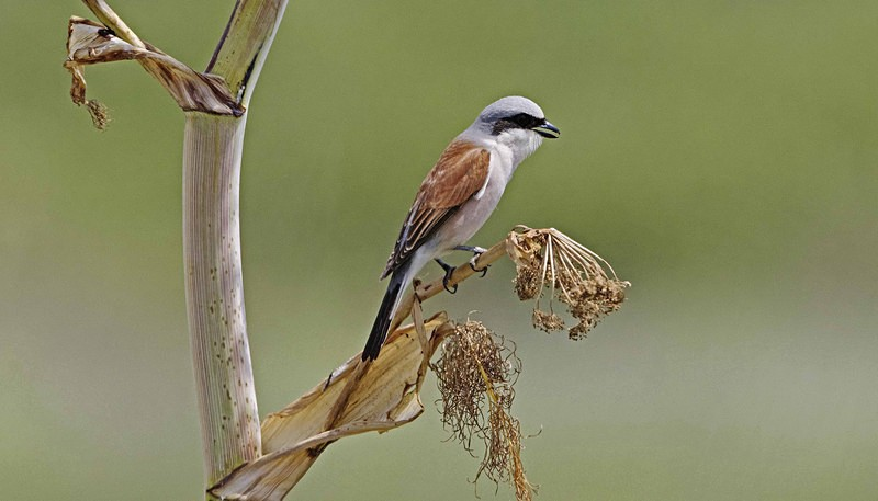 Male Red Backed Shrike. - Lesvos, Spring 2017
