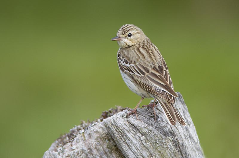 Tree Pipit - Spring birds around the Brecon Beacons