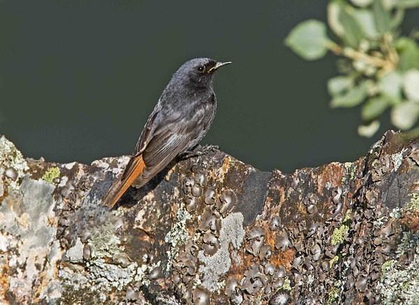 Black Redstart - Extremadura, Spain