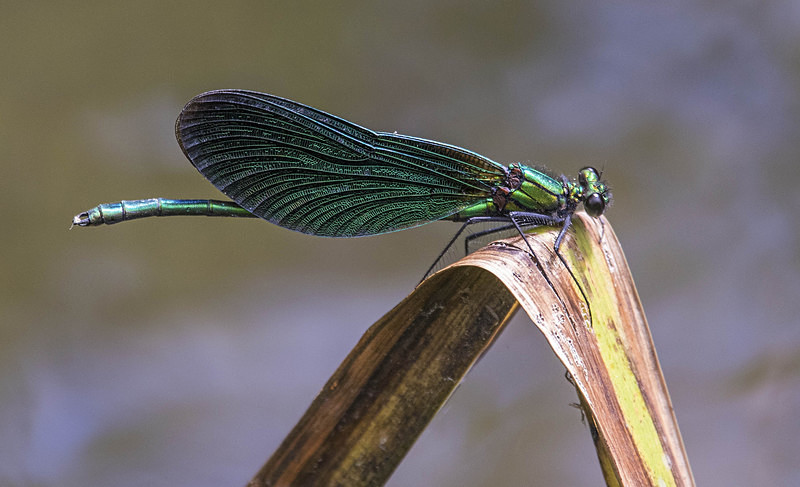 Beautiful Demoiselle - Dragonflies