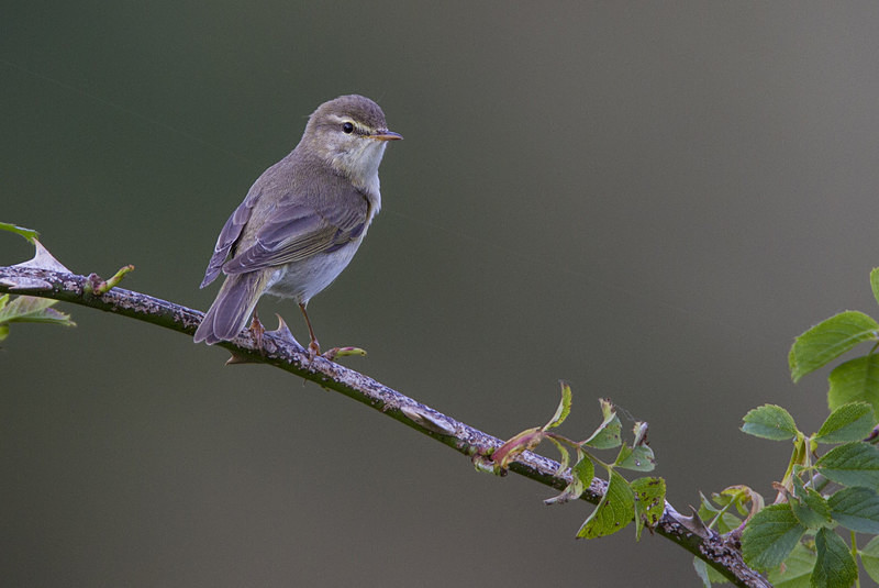 Willow Warbler - Spring birds around the Brecon Beacons