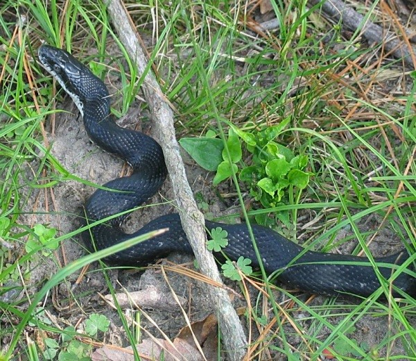 Rat Snake (Cape May, USA) - From around the world