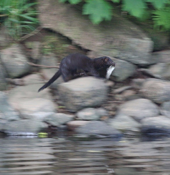 North American Mink with Rainbow Trout on the River Usk near Brecon. - From around the UK