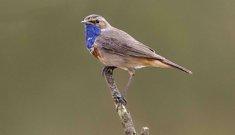 Male Bluethroat - Netherlands 2016