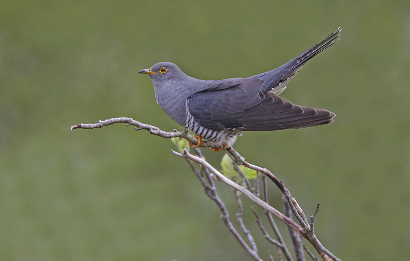 Male Cuckoo - Cuckoos
