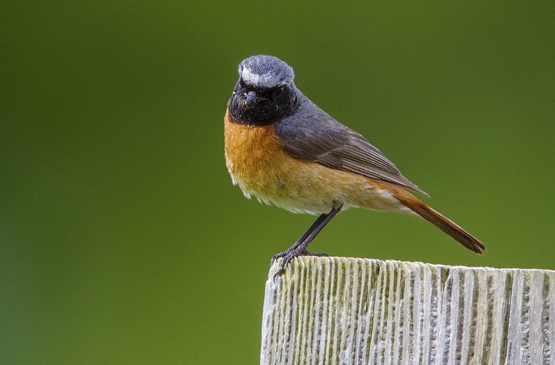 Male Common Redstart - Spring birds around the Brecon Beacons