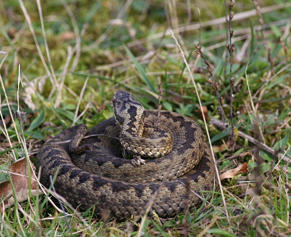 Adder slightly stirring after hearing my footsteps - From around the UK