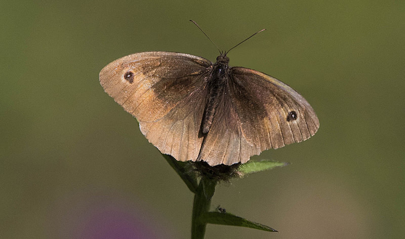 Meadow Brown - Butterflies