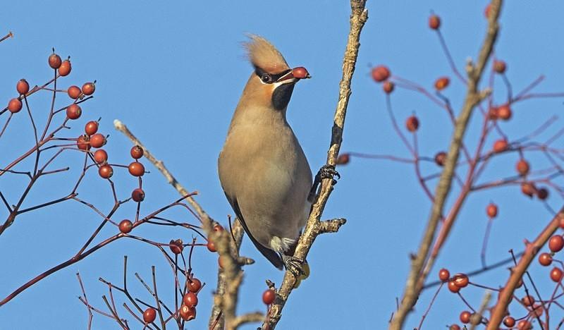 Waxwing. - Cuckoos, Shrikes & Waxwings