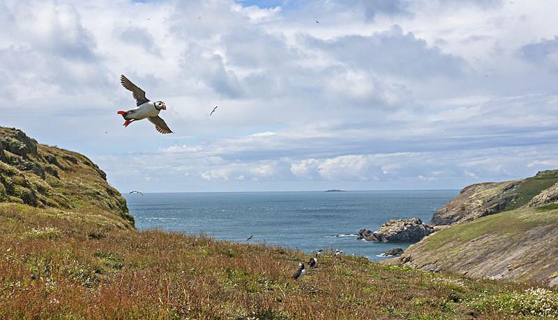 Puffin in flight - Skomer Island July 2014