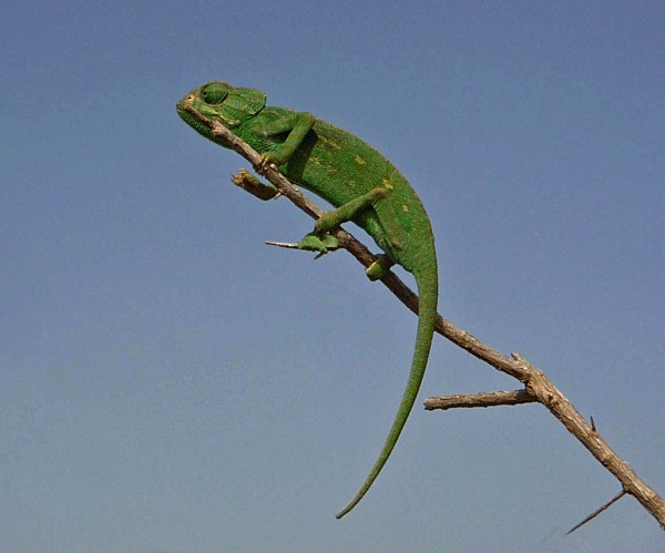 Chameleon (Morocco) - From around the world