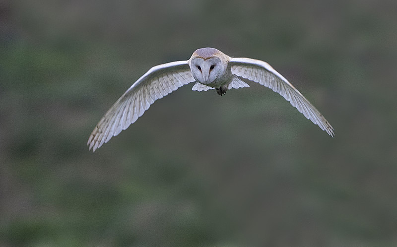 Barn Owl - Norfolk Winter 2016