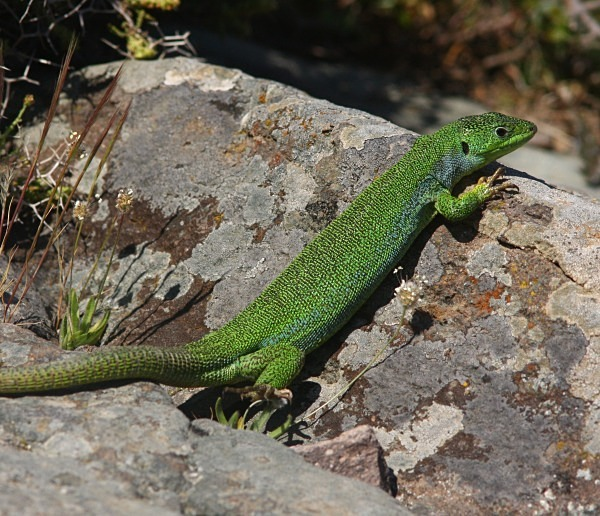 Balkan Green Lizard (Lesvos) - From around the world